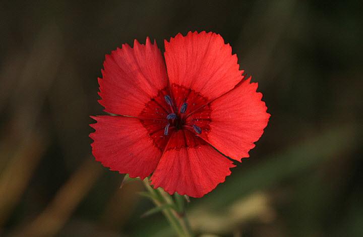 Цветок гвоздики