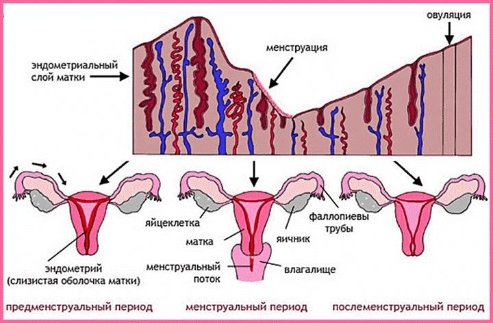 Механизм менструации