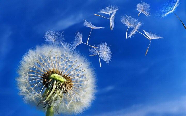 Разлетаются семена одуванчика