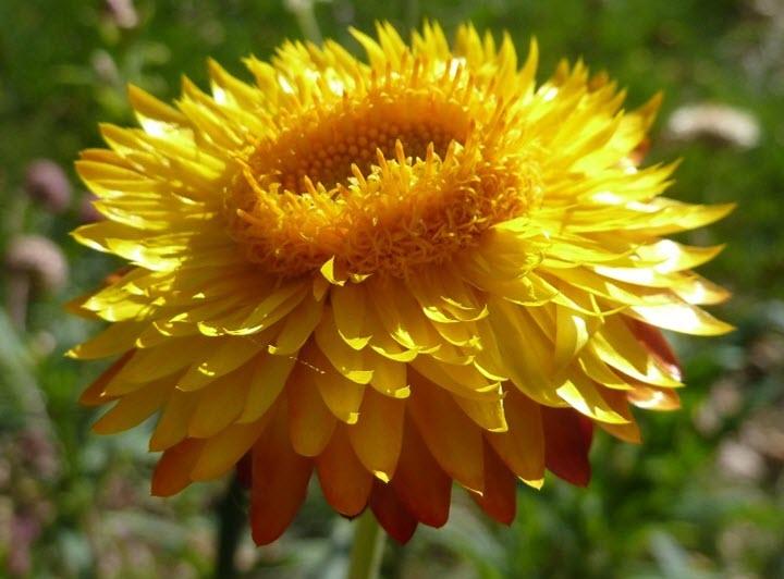 Цветок бессмертника