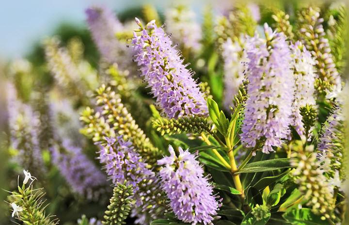 Иссоп трава лечебные свойства и применеие