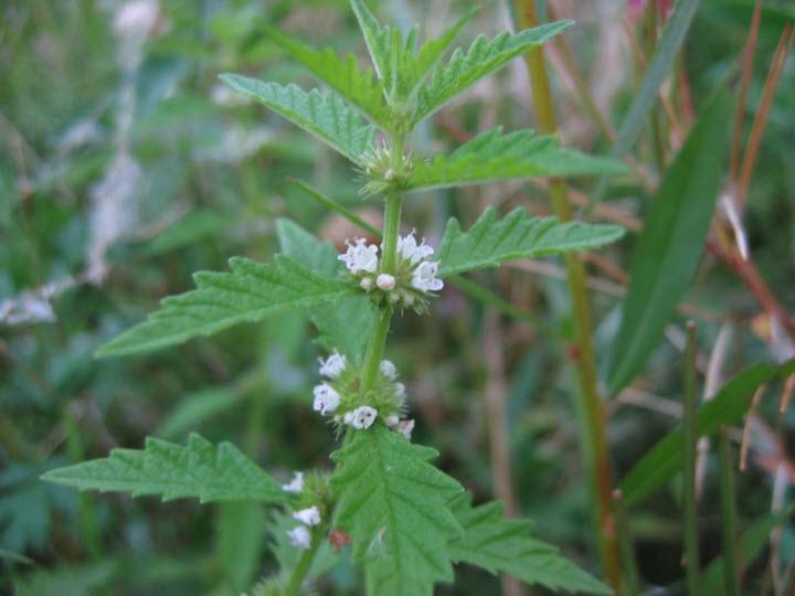 Растение лекарственное зюзник