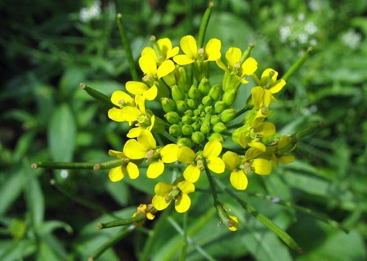 Цветы желтушника