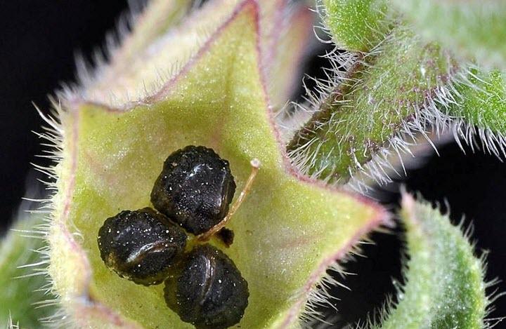 Семена погремка большого