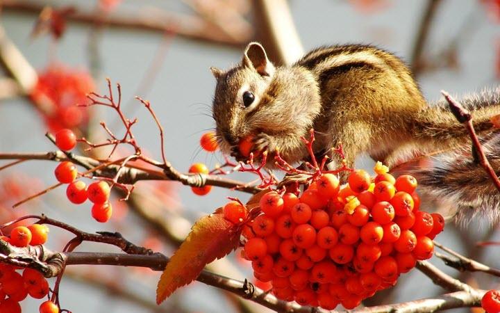 О пользе ягод рябины известно даже животным