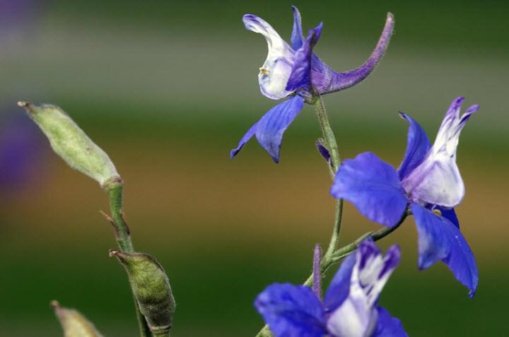 Цветок живокоста