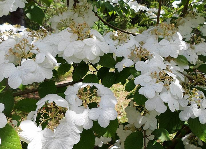 Цветы калины складчатой