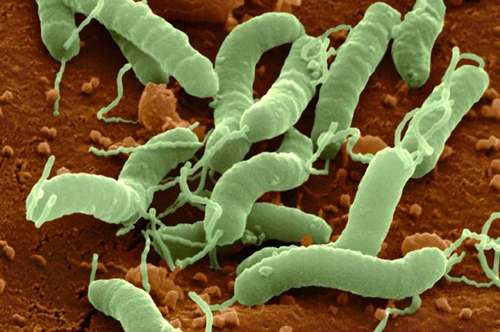 Бактерии Хеликобактер Пилори