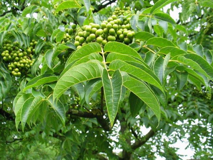 Плоды и листья амурского бархата