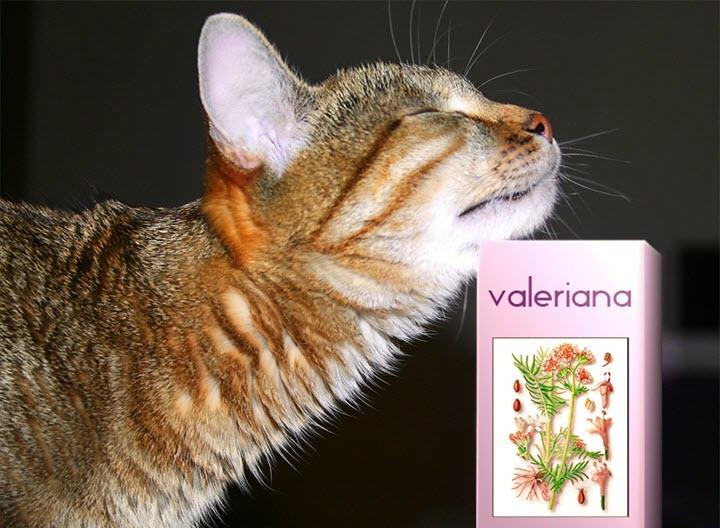 Кошки очень любят валерианку