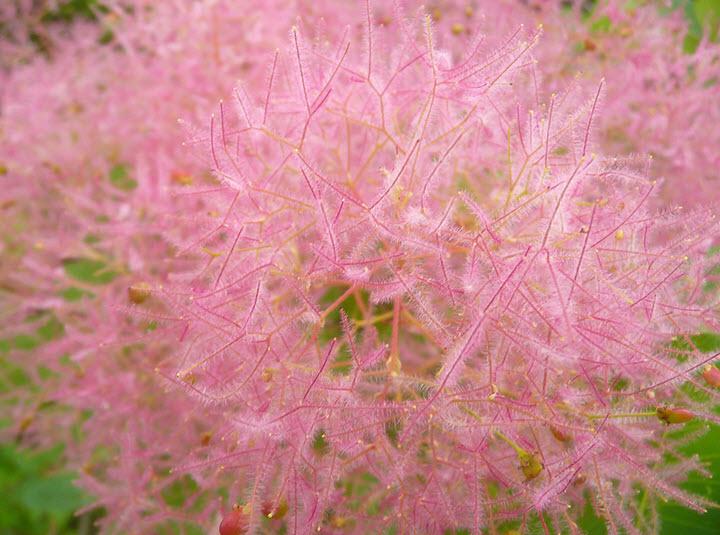 Цветы скумпии