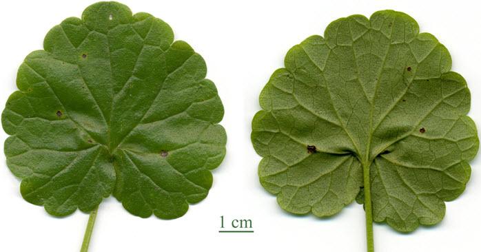 Листья будры плющевидной