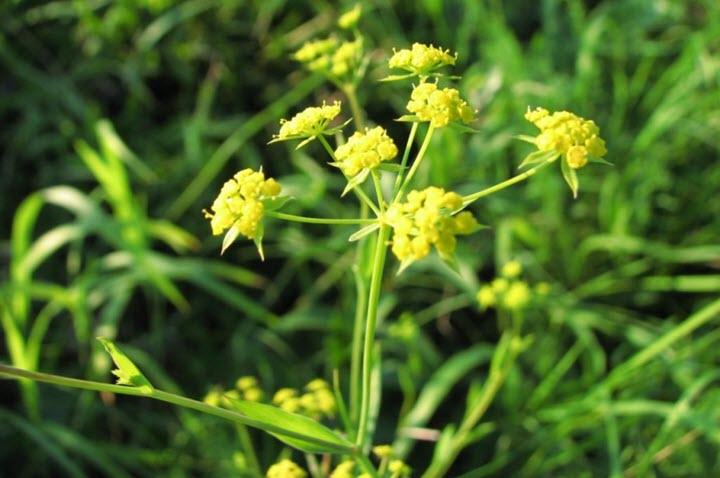 Трава володушка