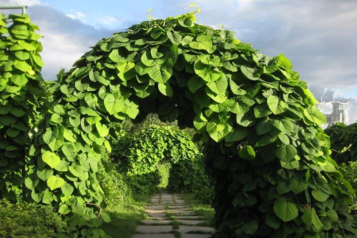Кирказон садовый