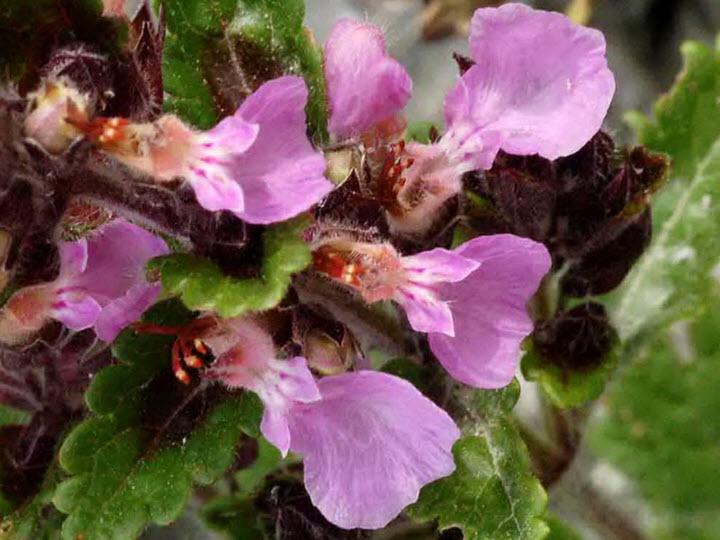 Цветы дубровника обыкновенного