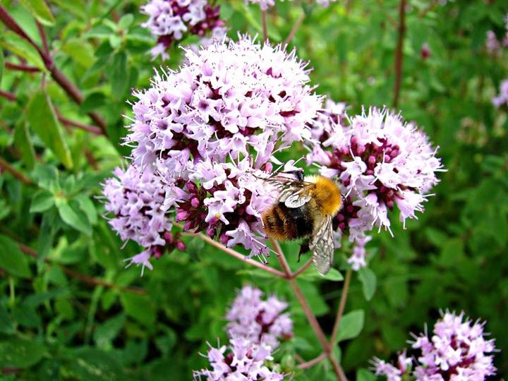 Пчела на душице