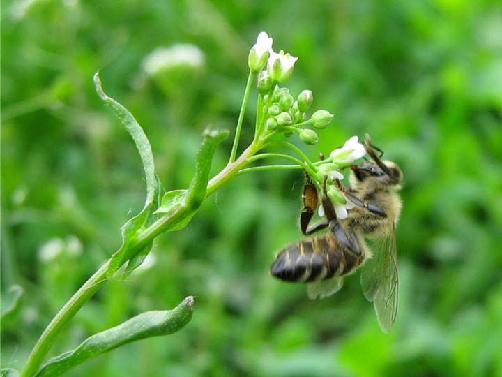 Пчела на цветке пастушьей сумки