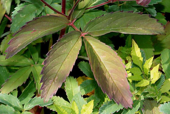 Листья сабельника болотного