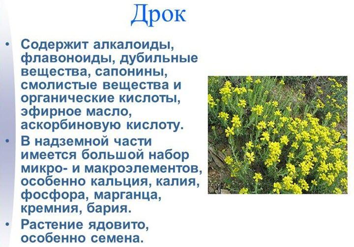 Описание растения дрок