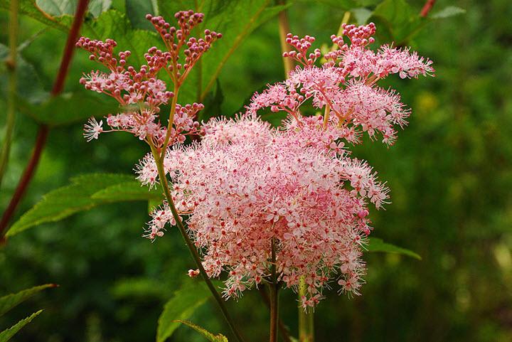 Таволга розовая