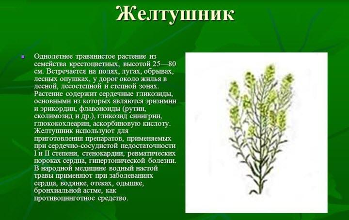 Описание растения желтушник