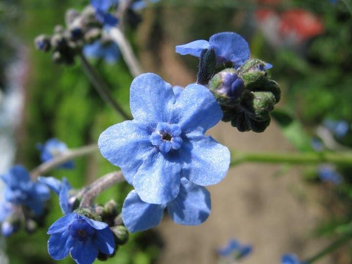 Чернокорень синий