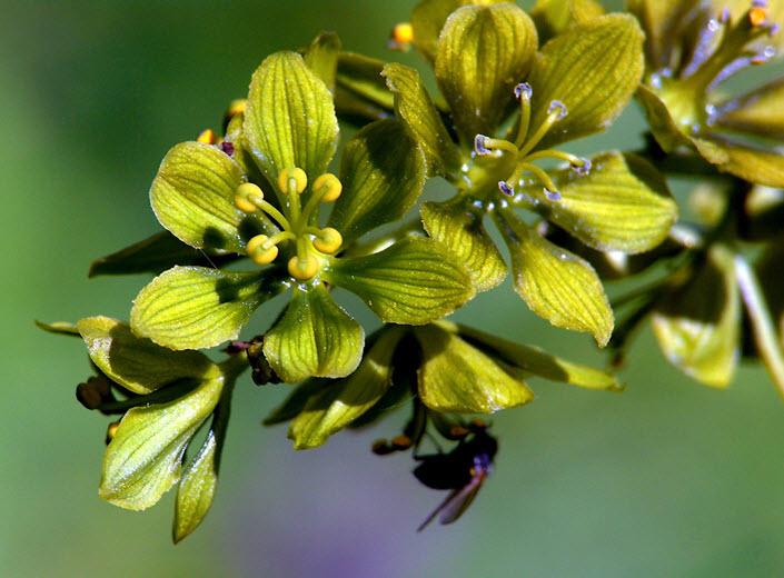 Цветки черемицы