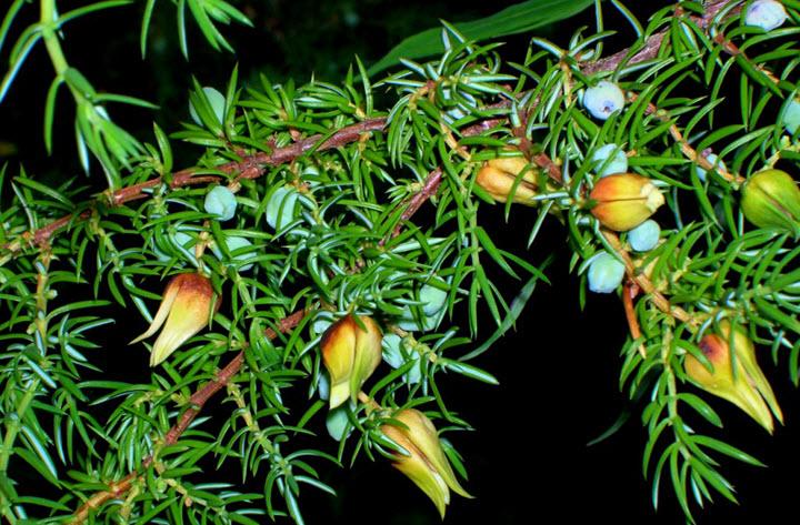 Цветки можжевельника
