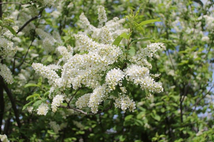 Цветы белой черемухи