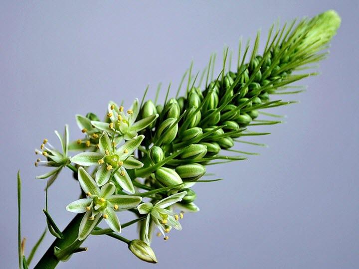 Цветок индийского лука