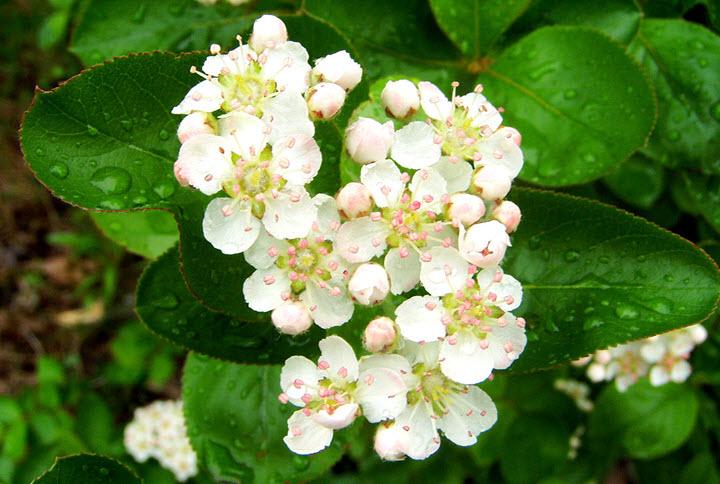 Цветки рябины черноплодной