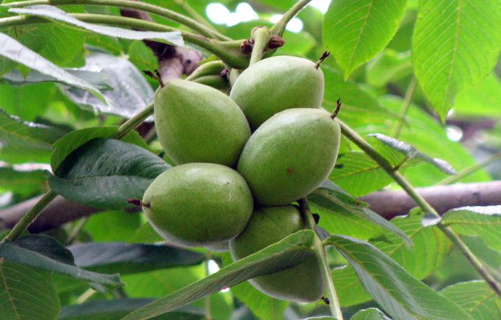 Незрелые плоды маньчжурского ореха