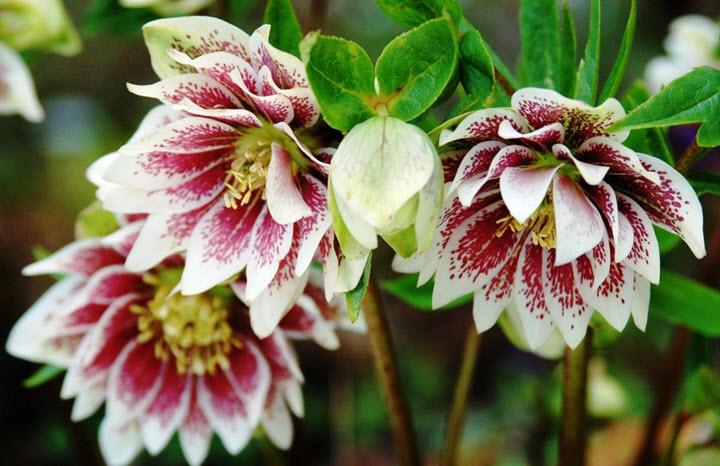 Цветки морозника