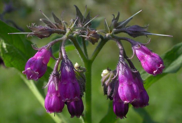 Цветки окопника