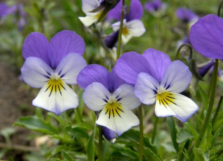 Фиалка трехцветная Viola tricolor L