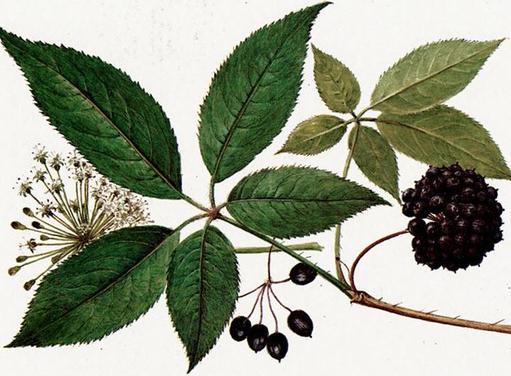 Растение элеутерококк