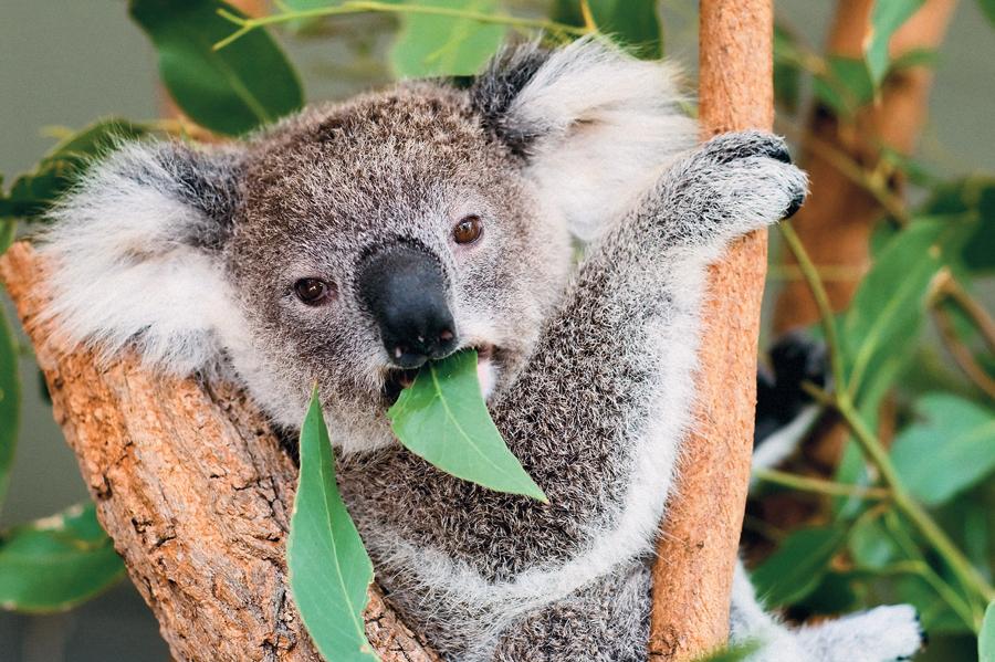 Листьями эвкалипта питаются многие животные