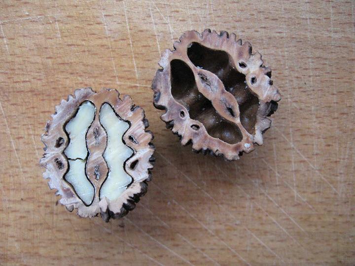 Маньчжурский орех в разрезе