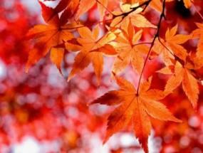 Лечебные свойства кленовых листьев