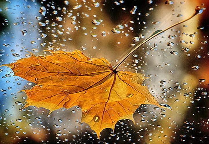 Лечение кленовыми листьями