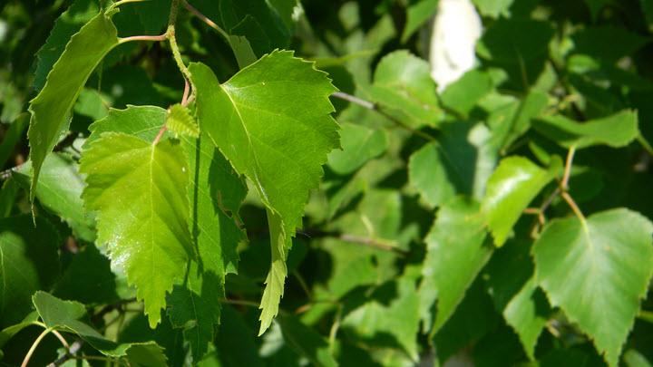 Отвар из березовых листьев