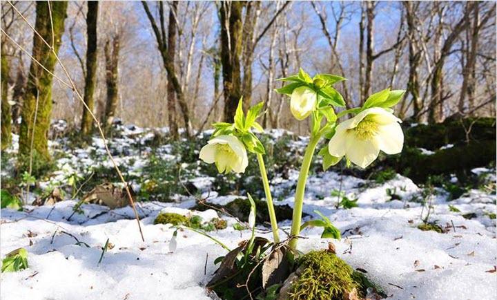 Морозник в лесу